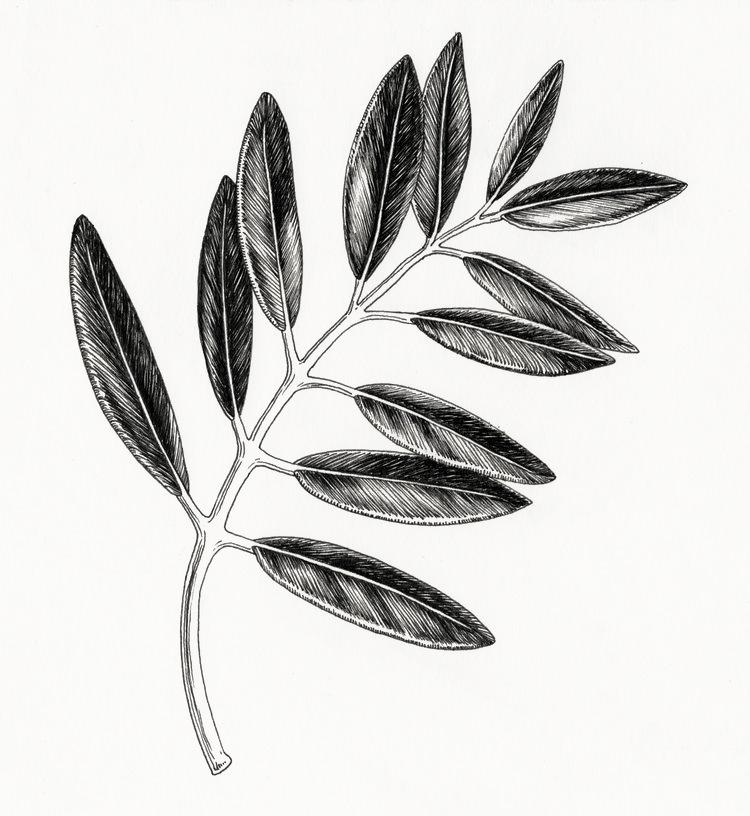 Feuille+illustration+amandine+delaunay.jpeg