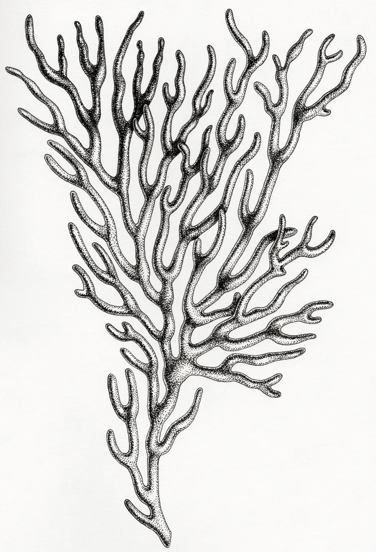 corail+illustration+amandine+delaunay.jpg