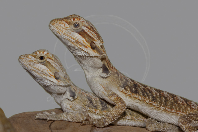 Beardies (11).jpg