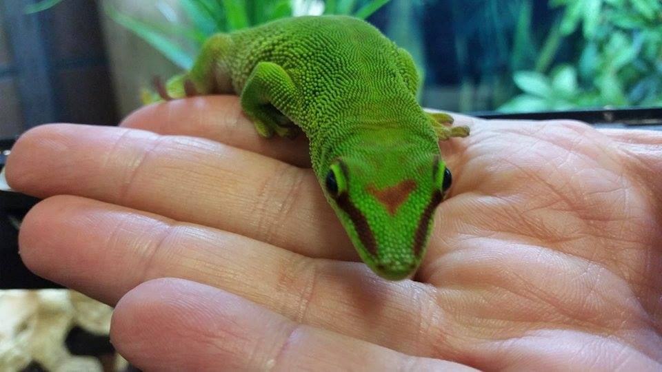 Giant Madagascan Day Gecko (4).jpg