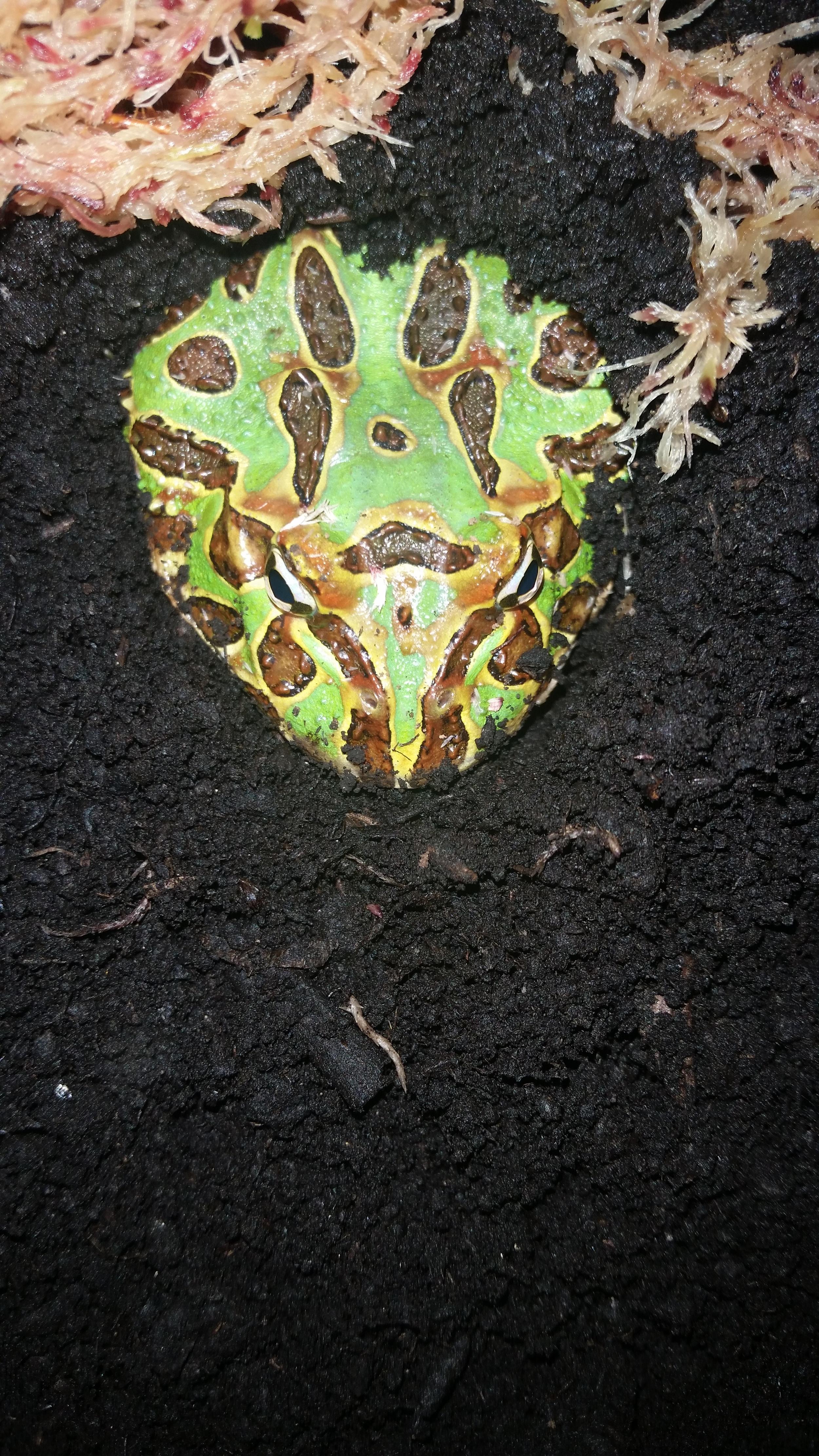 Argentine Horned Frog (2).jpg