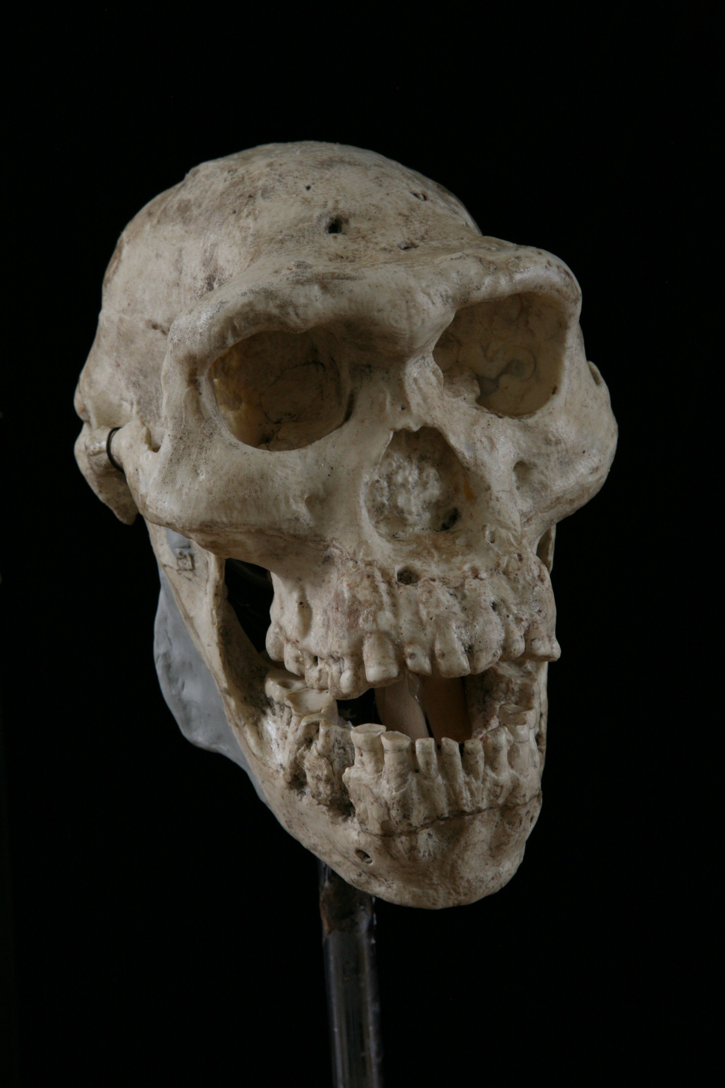 Homo erectus at Dmanisi, skull 5