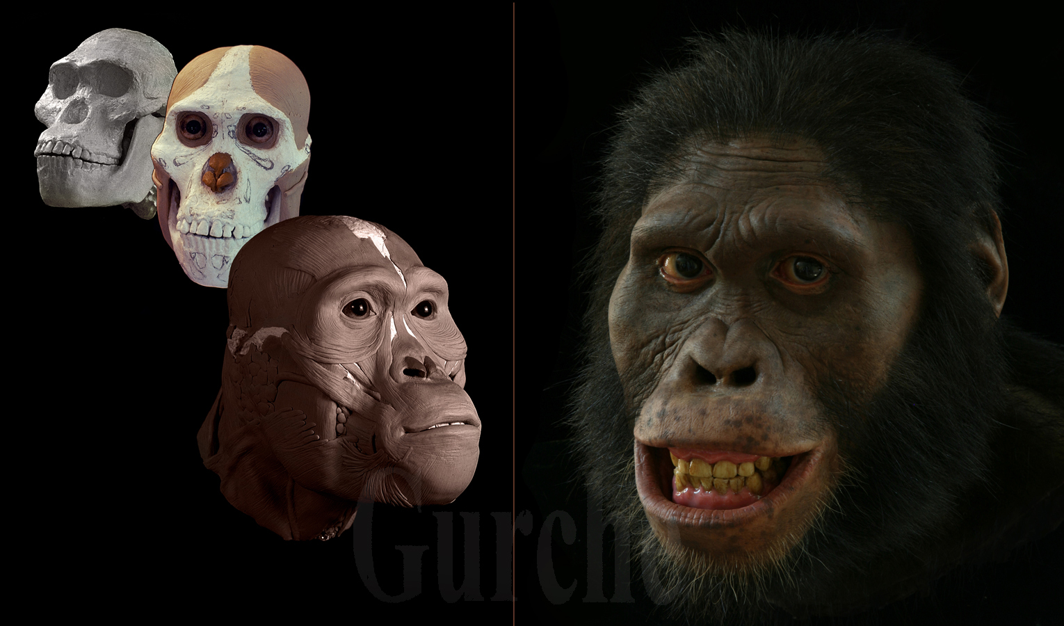 Image 793 A africanus phases of reconstruction based on Sts 5.jpg