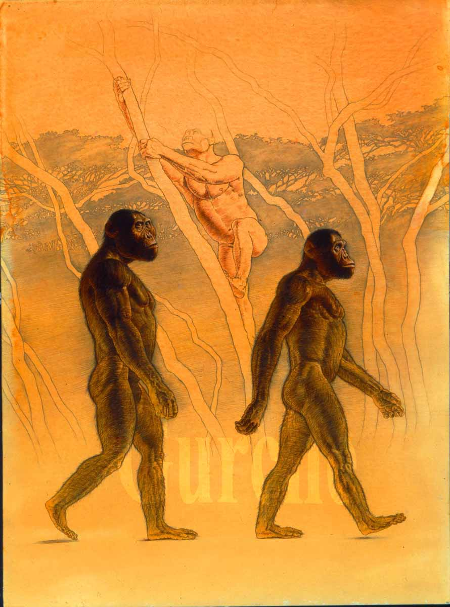 A. africanus  and  A. afarensis  mal es  walking. Created for  National Geographic Magazine . Graphite, pen and ink.