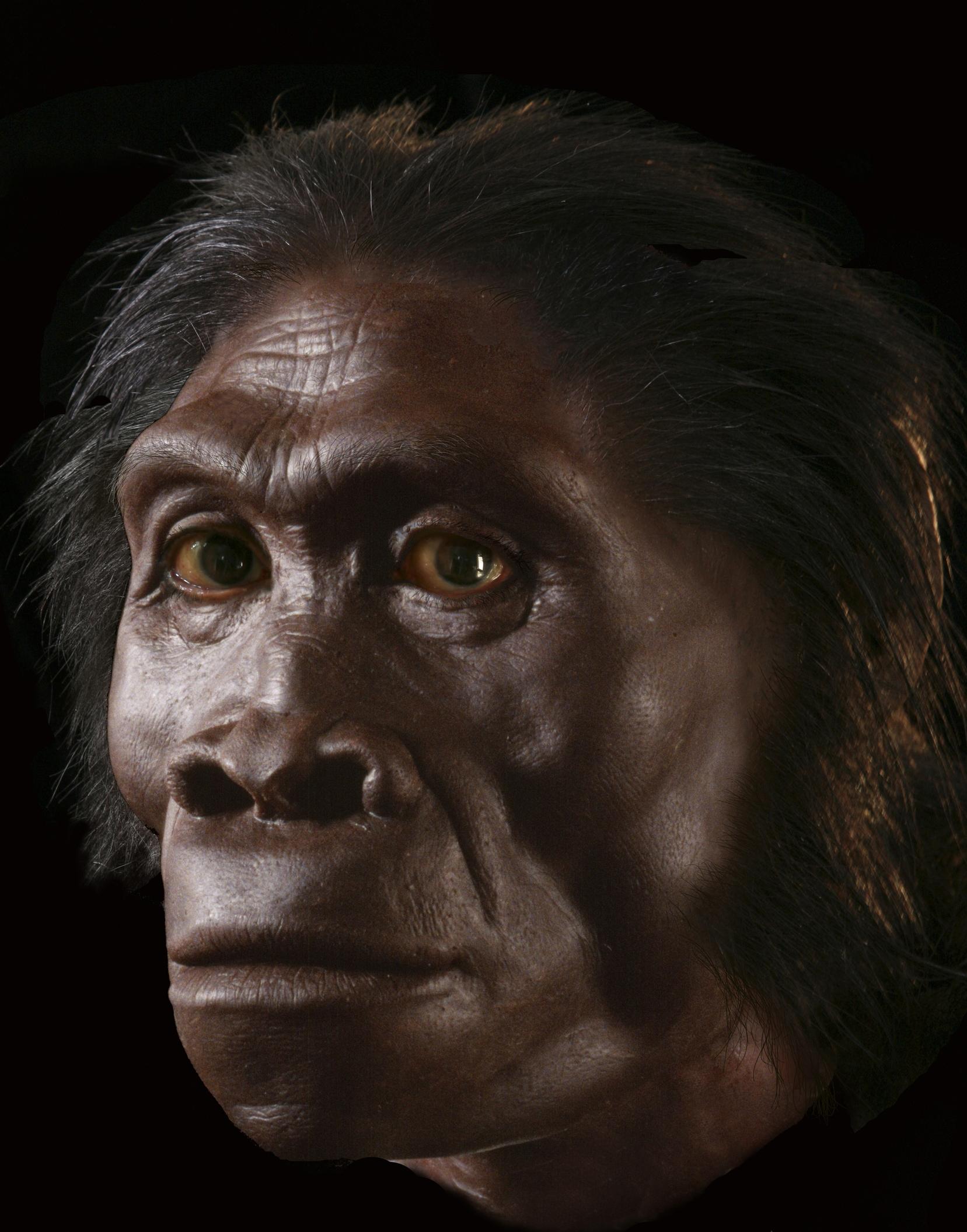 Image 774  Homo habilis based on KNM ER 1813.jpg