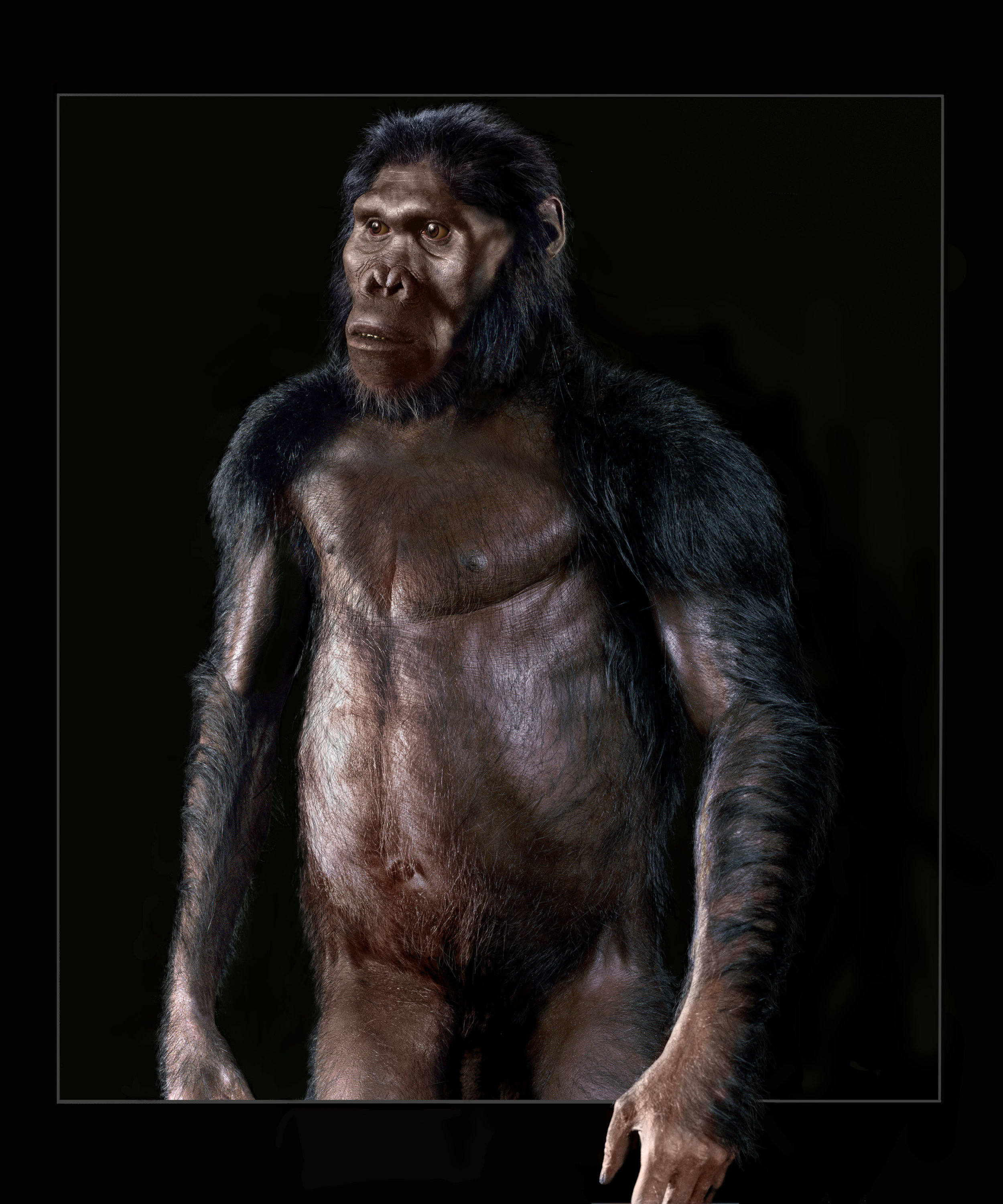 Reconstruction of adult male  A. africanus .