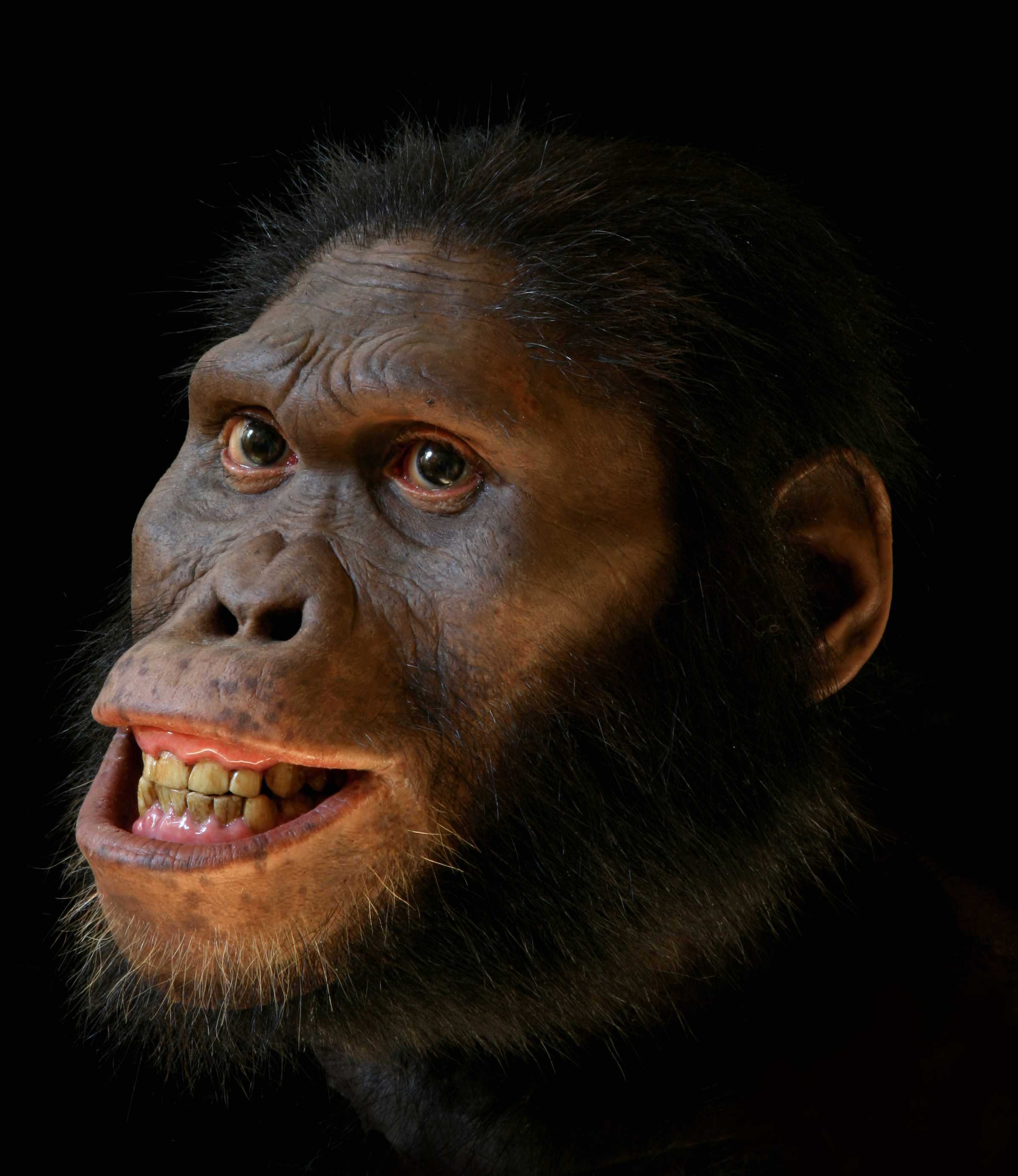 Alternate views of Australopithecus africanus reconstruction, now on exhibit in the Smithsonian's Hall of Human Origins.