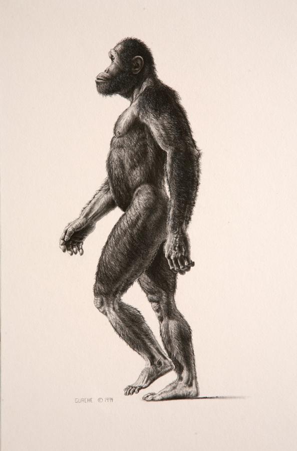 Australopithecus africanus male.