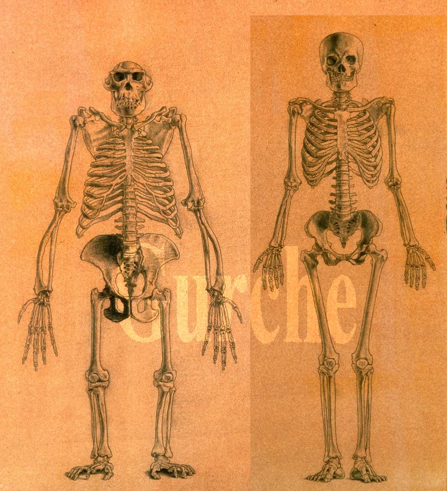 IMG 109a chimp and human skeletons.jpg