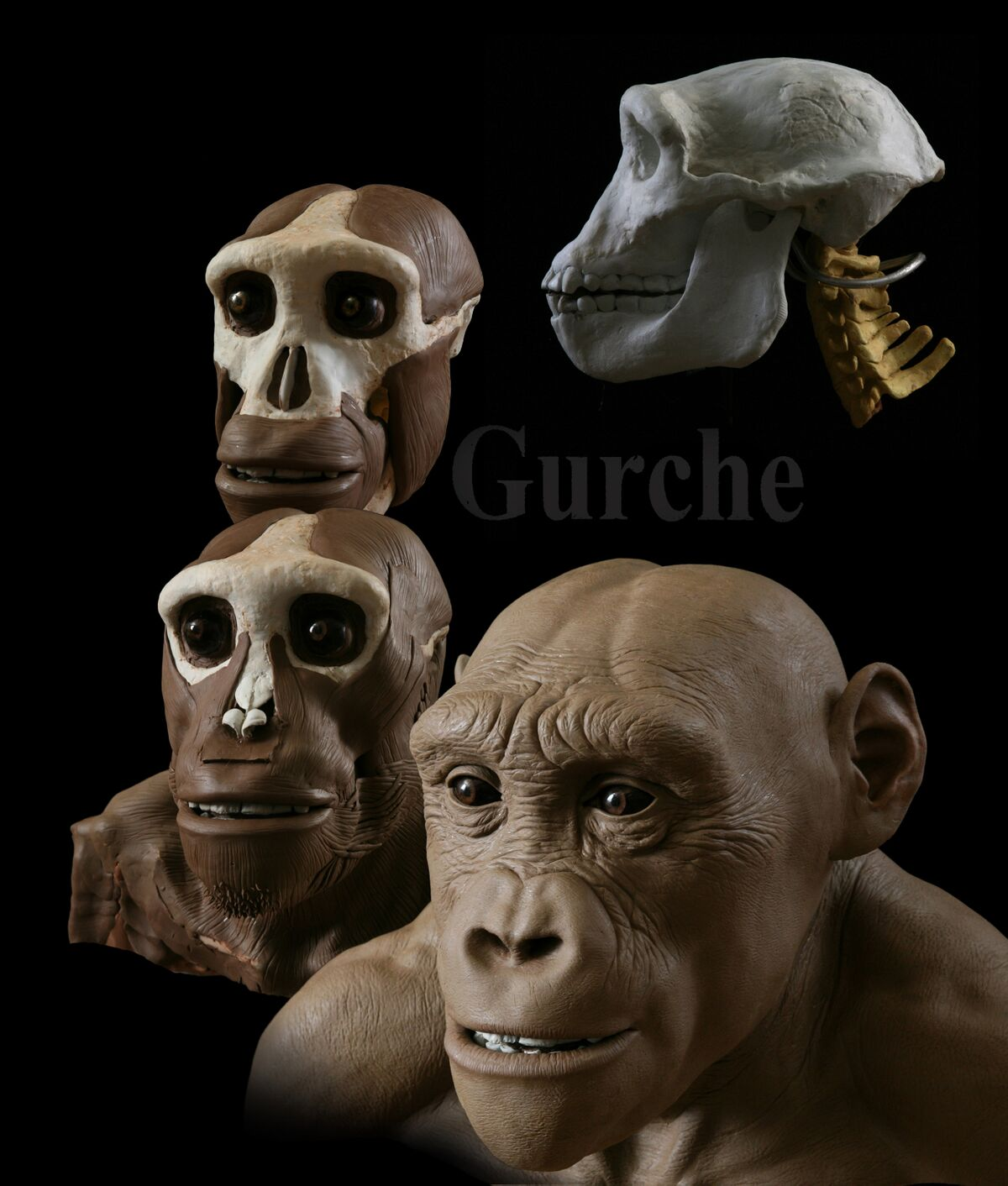 The stages of the Sahelanthropus reconstruction