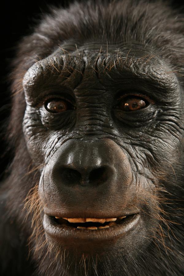 Close-up of Sahelanthropus reconstruction