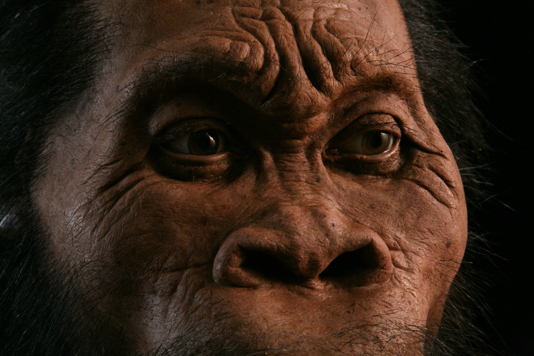 Reconstruction of  Homo naledi , created for  National Geographic Magazine.
