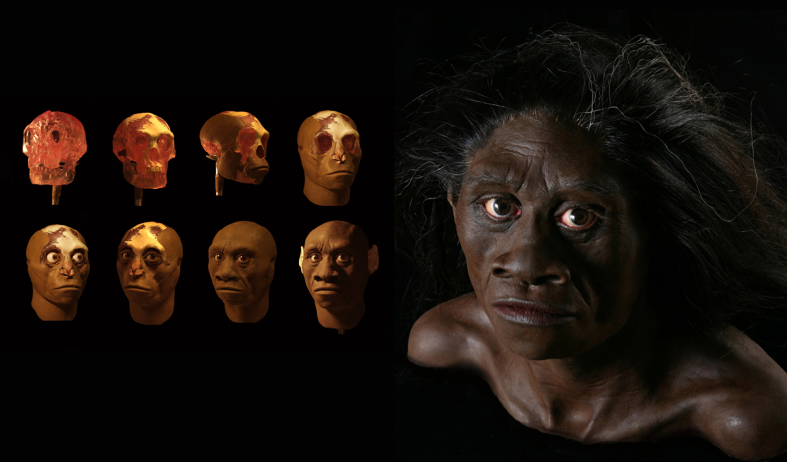 Stages in the reconstruction of Homo floresiensis.
