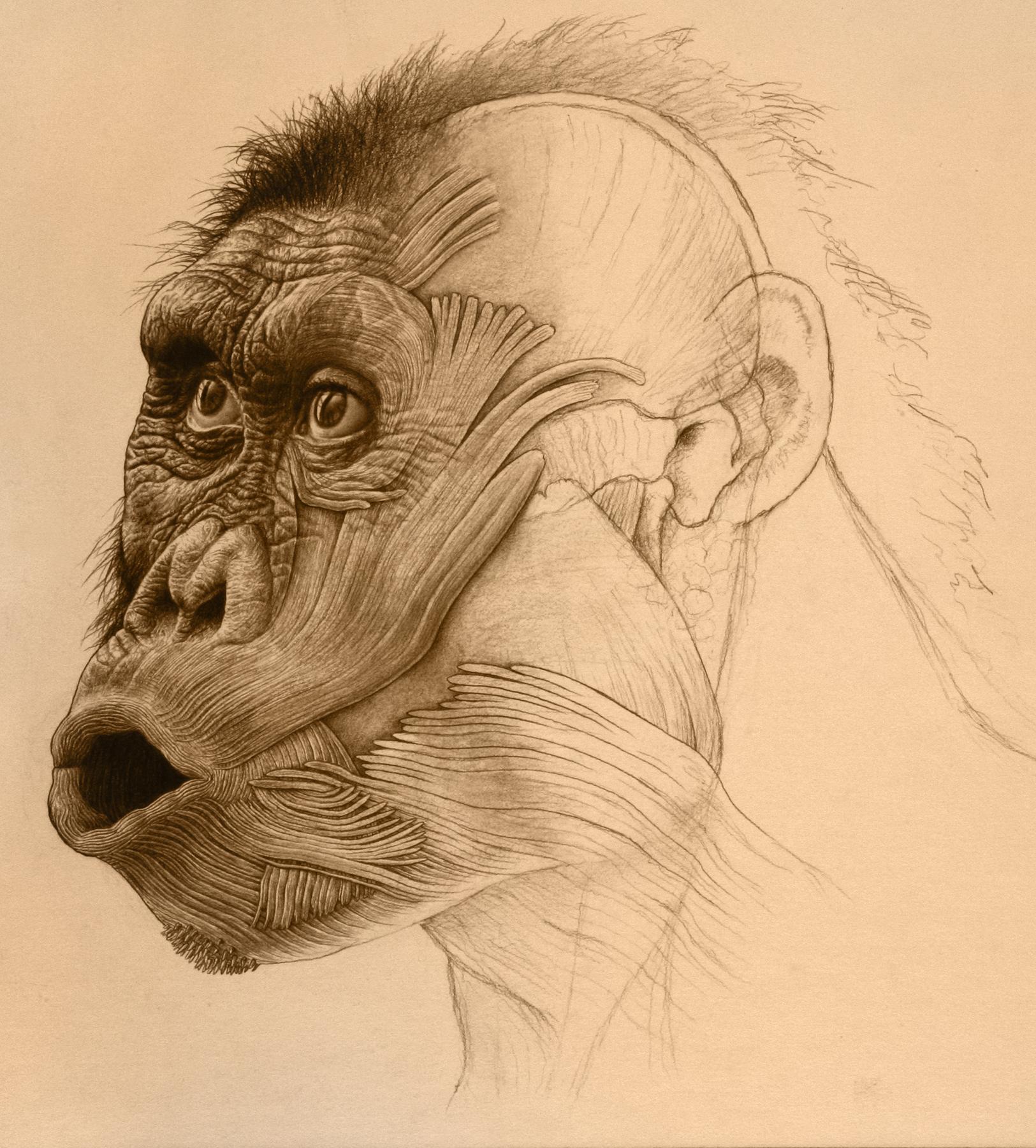 Australopithecus afarensis , adult male, Ethiopia