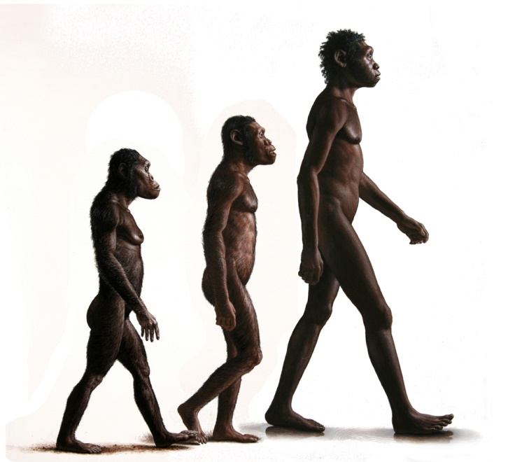 This painting was kept in the  National Geographic   Australopithecus sediba  article of 2011. It shows Lucy ( Australopithecus afarensis ) and Turkana Boy  (Homo erectus ), with a juvenile male  Australopithecus sediba  walking between them. The transition from a species of  Australopithecus  to the genus  Homo  has long been one of human origins' biggest mysteries.  A. sediba  was a very exciting find because of its unique combination of primitive and evolved features. In many respects, it resembles other species of  Australopithecus  (especially  A. africanus ), but it uniquely shares some features with Homo, suggesting that this species is near the branch of  Australopithecus  that gave rise to the genus  Homo . All three individuals are reconstructed from partial skeletons, ranging from about 40% complete to about 90%.  $75,000