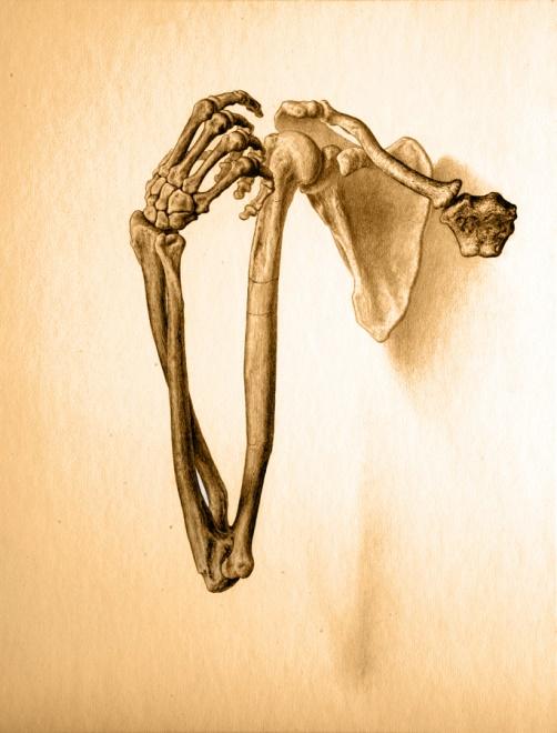 Australopithecus sediba  adult female arm skeleton, from  Lost Anatomies  by John Gurche.