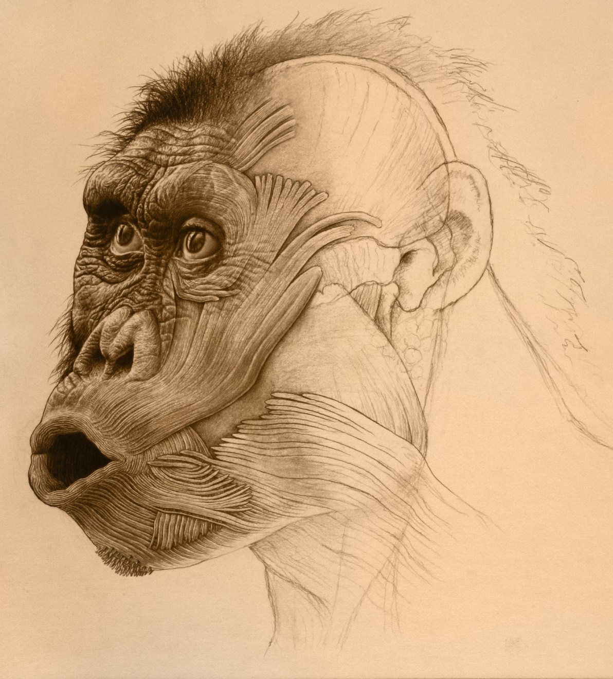 Australopithecus afarensis , from  Lost Anatomies  by John Gurche.