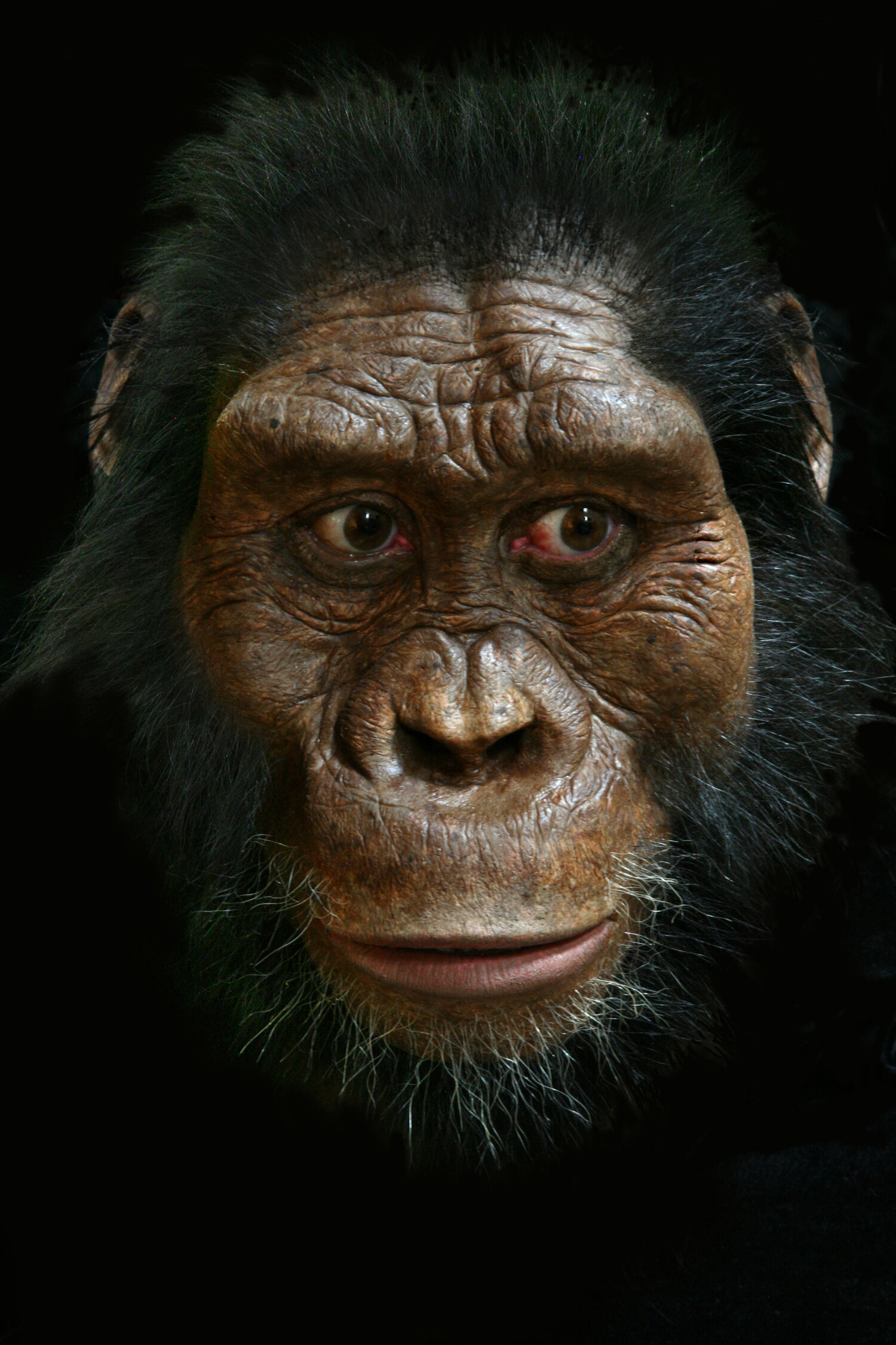 The first known skull of  Australopithecus anamensis  was announced on August 28th, 2019. I was commissioned to reconstruct the face, and this is the result. This is the oldest known and most primitive species of  Australopithecus , and it stretches the boundary of anatomy known for the genus.