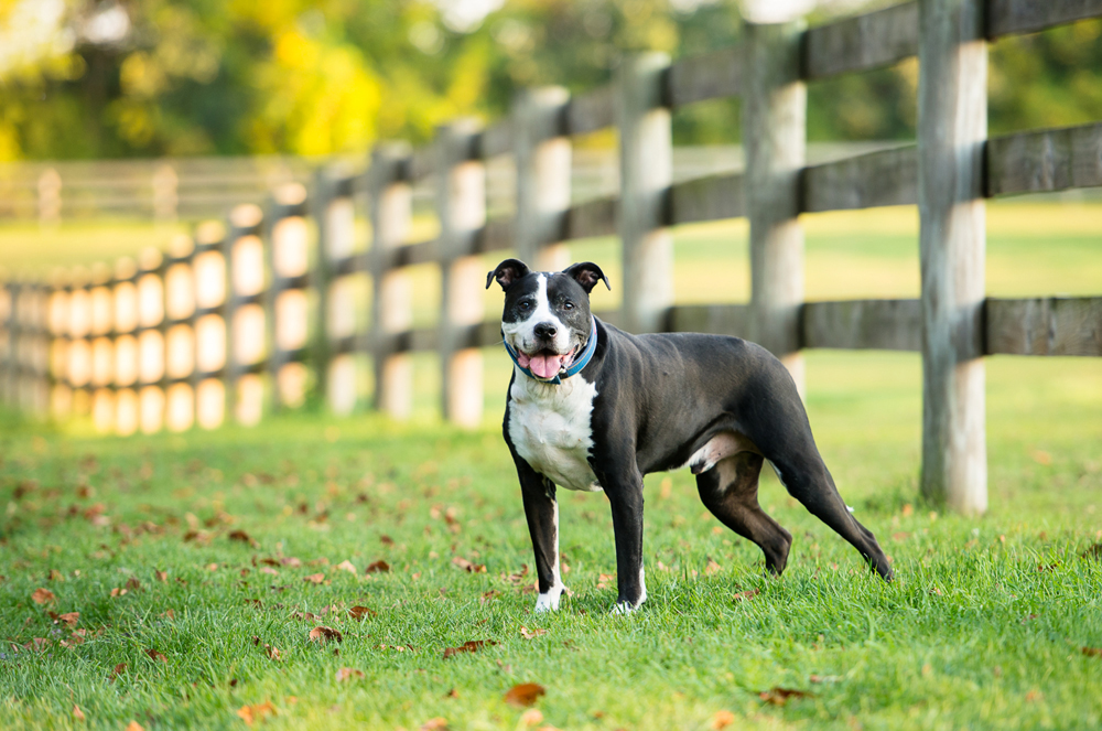pit-bull-mix-fence-fall