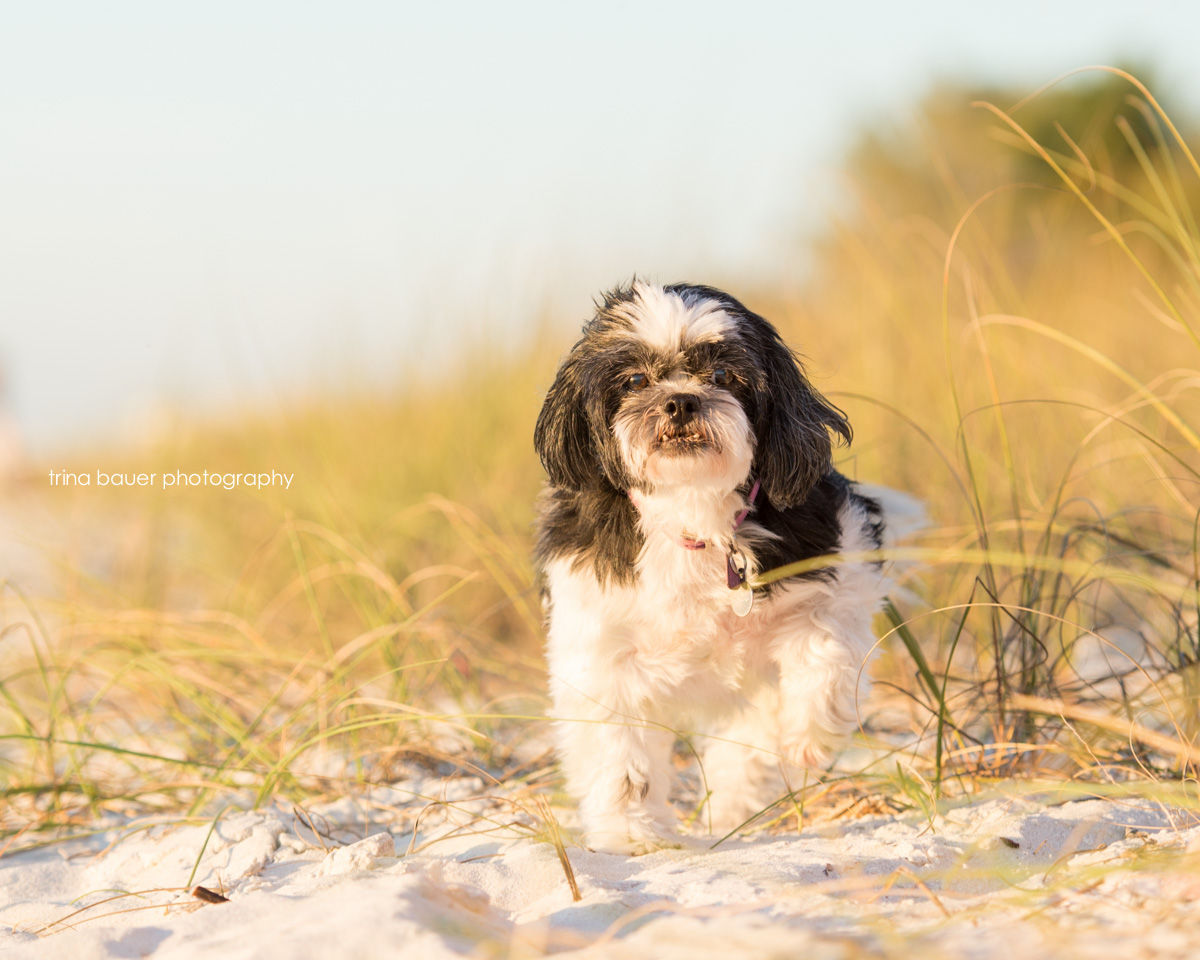 shih-tzu-beach-naples-florida