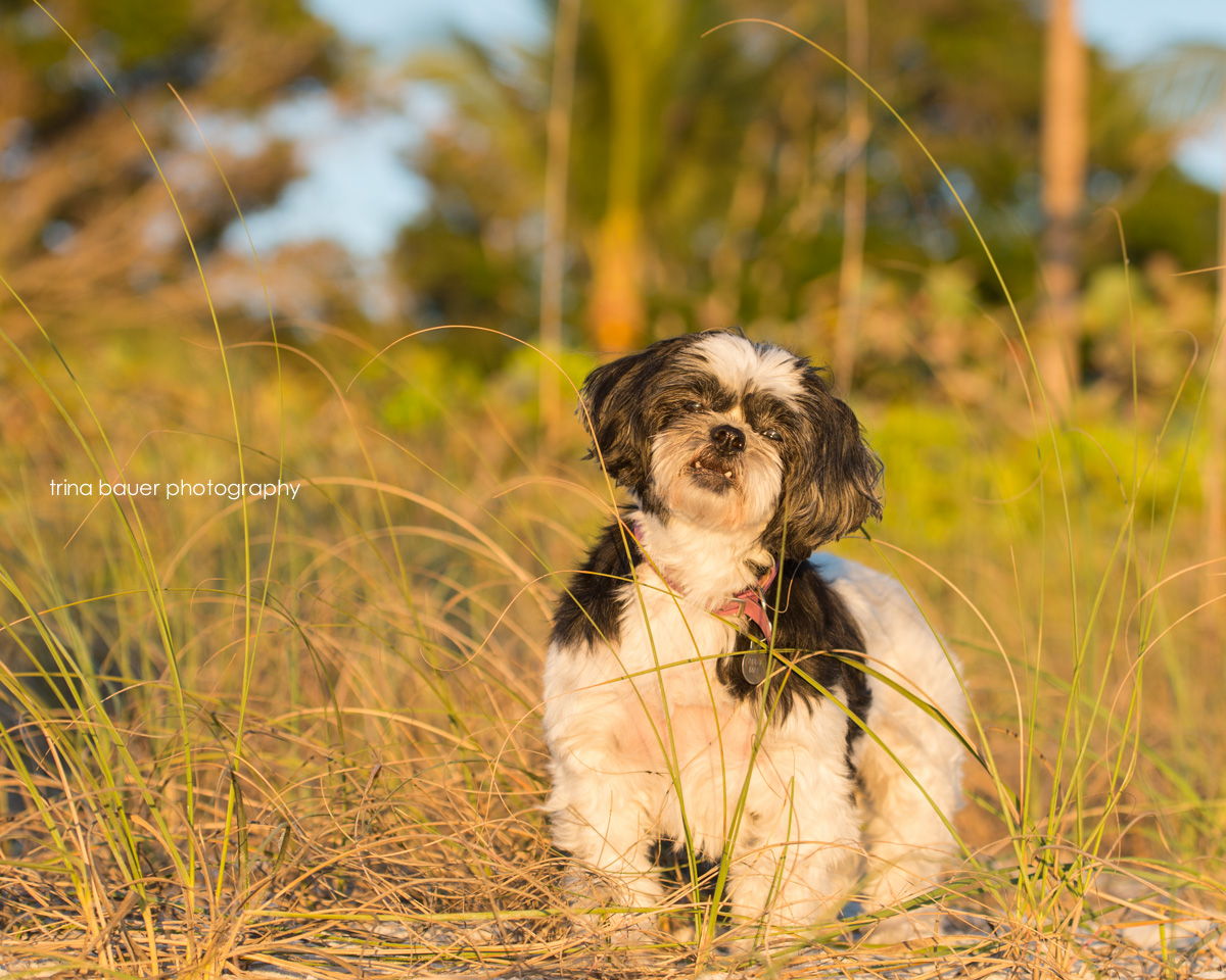 shih-tzu-naples-florida-beach-sunset