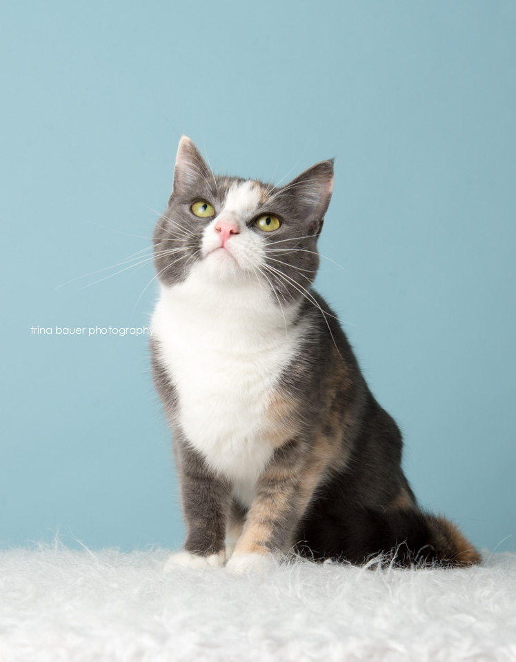 grey-white-adoptable-cat