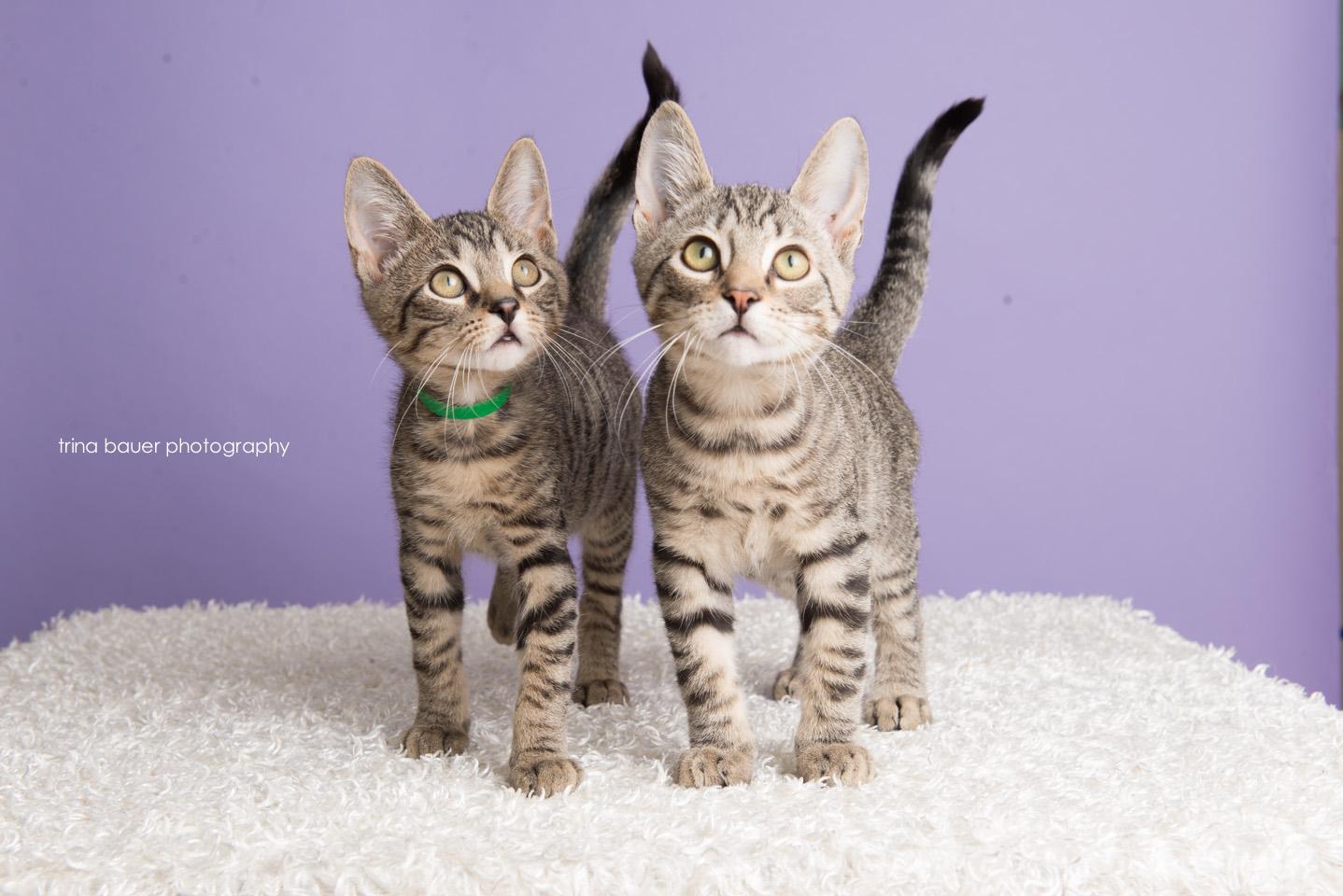 trina-bauer-photography-kittens-gray-tabby