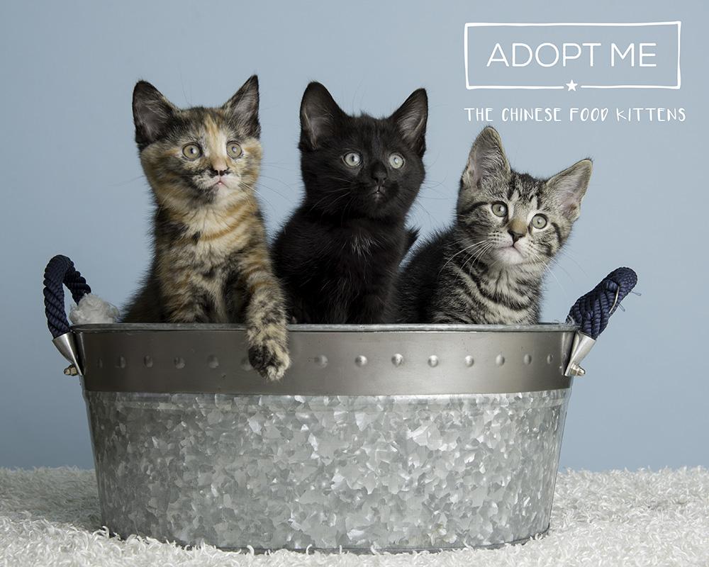 Adoptable.kittens.PAWS