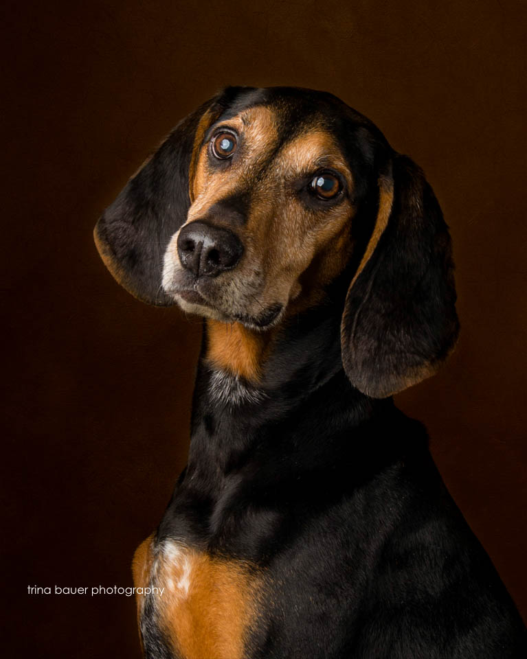 Buddy.coonhound.headshot