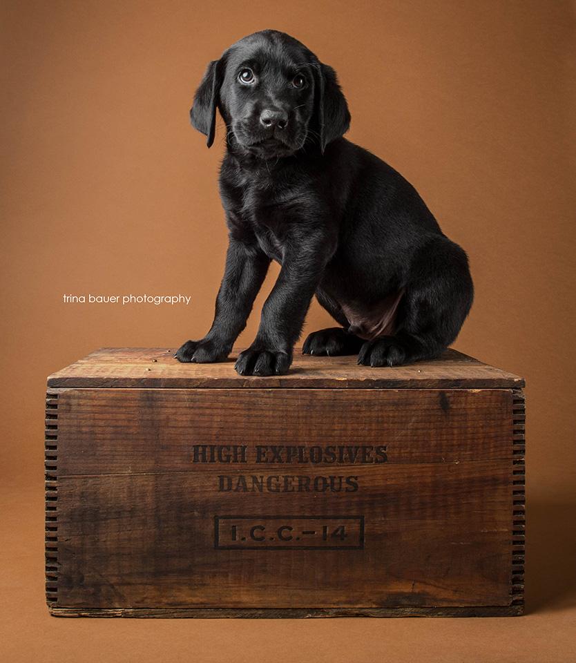 black.labrador.puppy