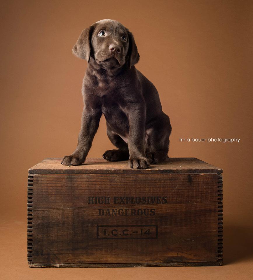 chocolate.labrador.puppy.3