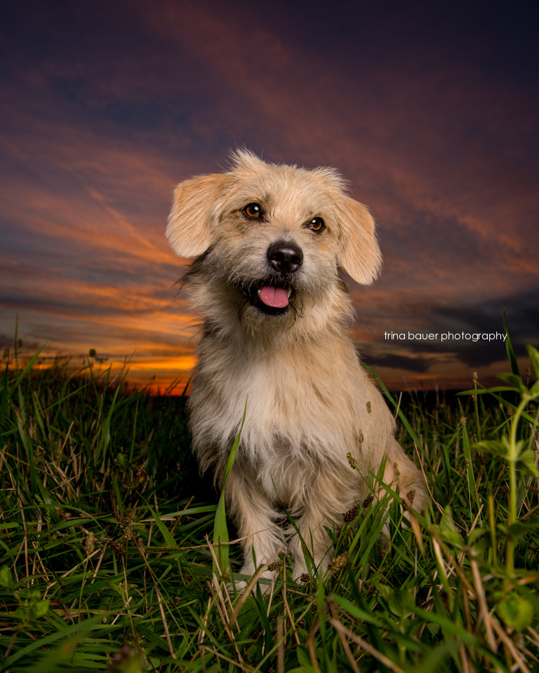 Terrier.mix.summer.sunset