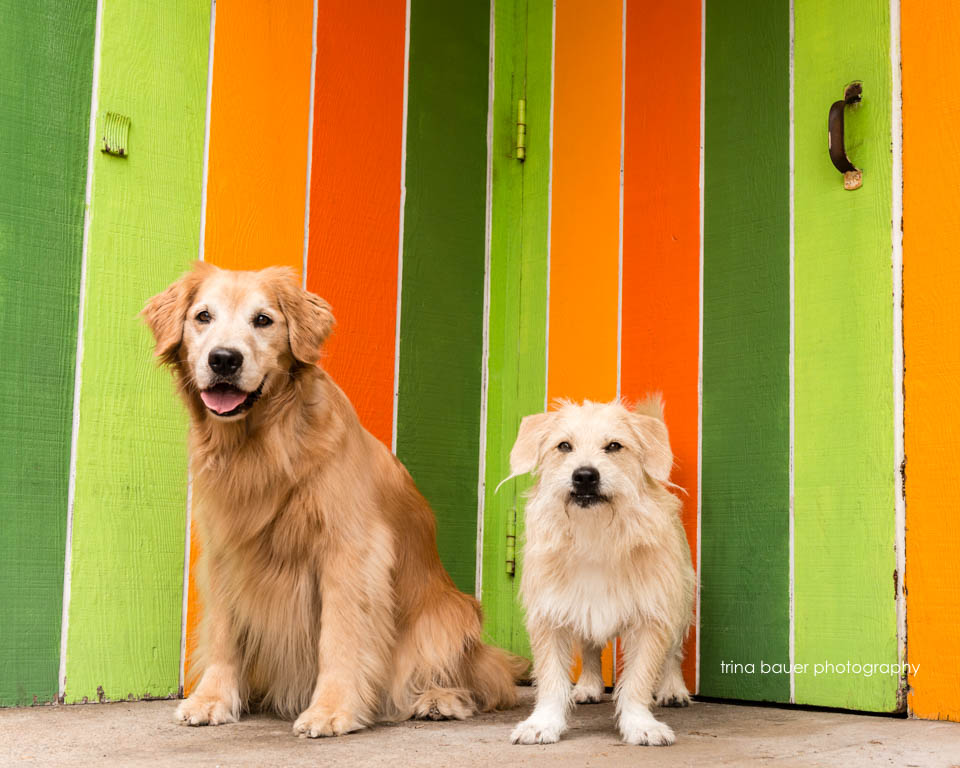golden.retriever.terrier.mix.colorful.wall