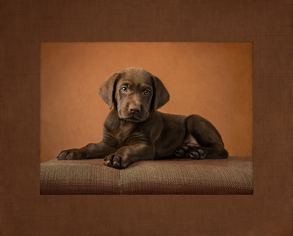 chocolate.lab.puppy