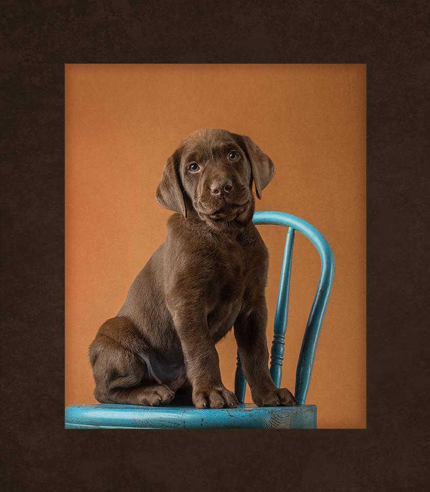 labrador.puppy.chair