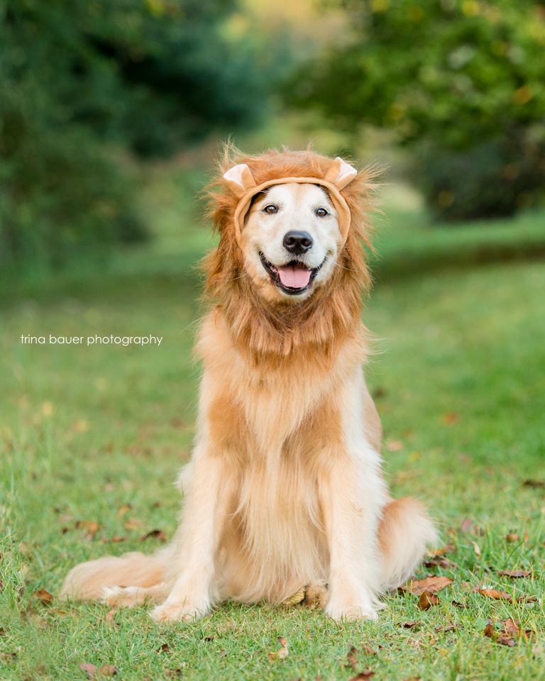 golden.retriever.halloween.lion