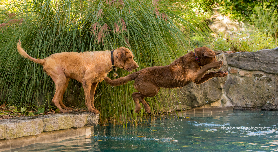 Chesapeake.Bay.Retrievers.pool.diving.jpg