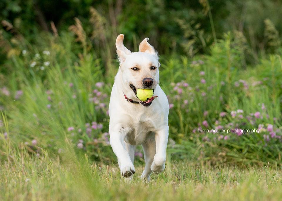 yellow.lab.retriever.running.tennis.ball