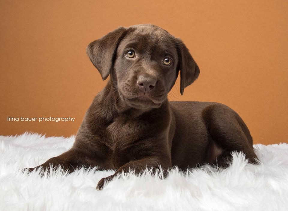 chocolate.lab.puppy.