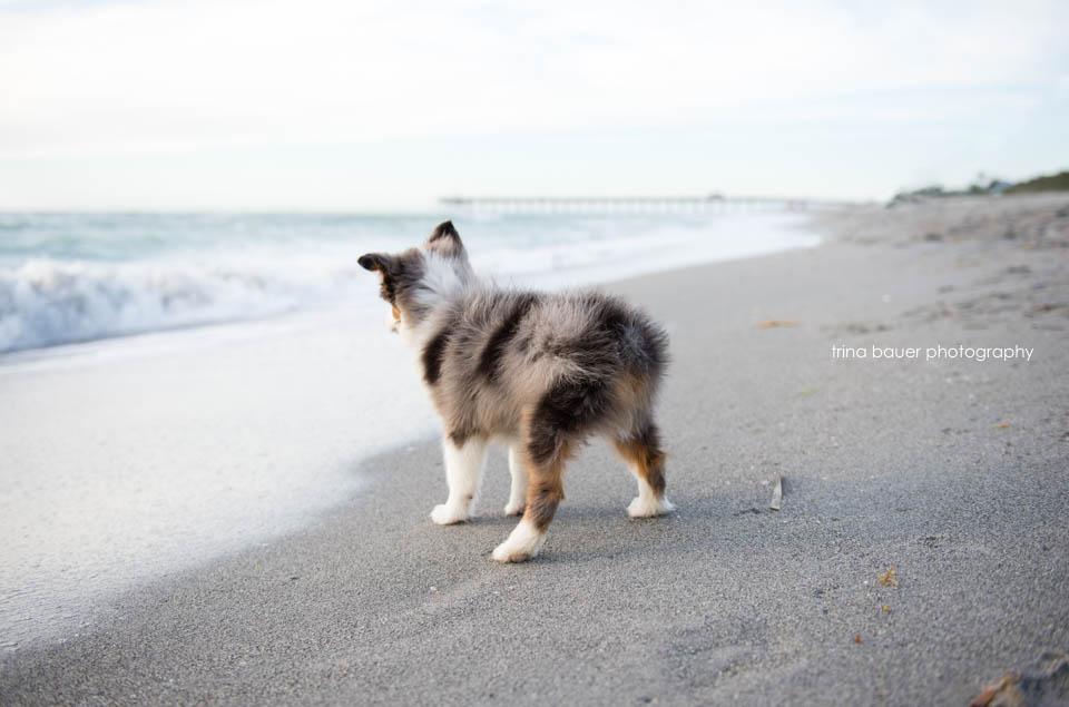 mini.australian.shepherd.florida.beach