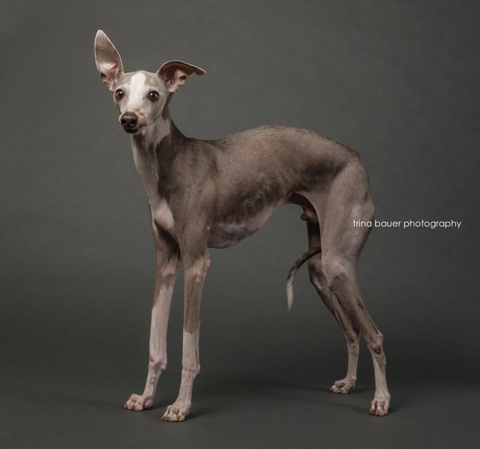 Italian.greyhound.portrait