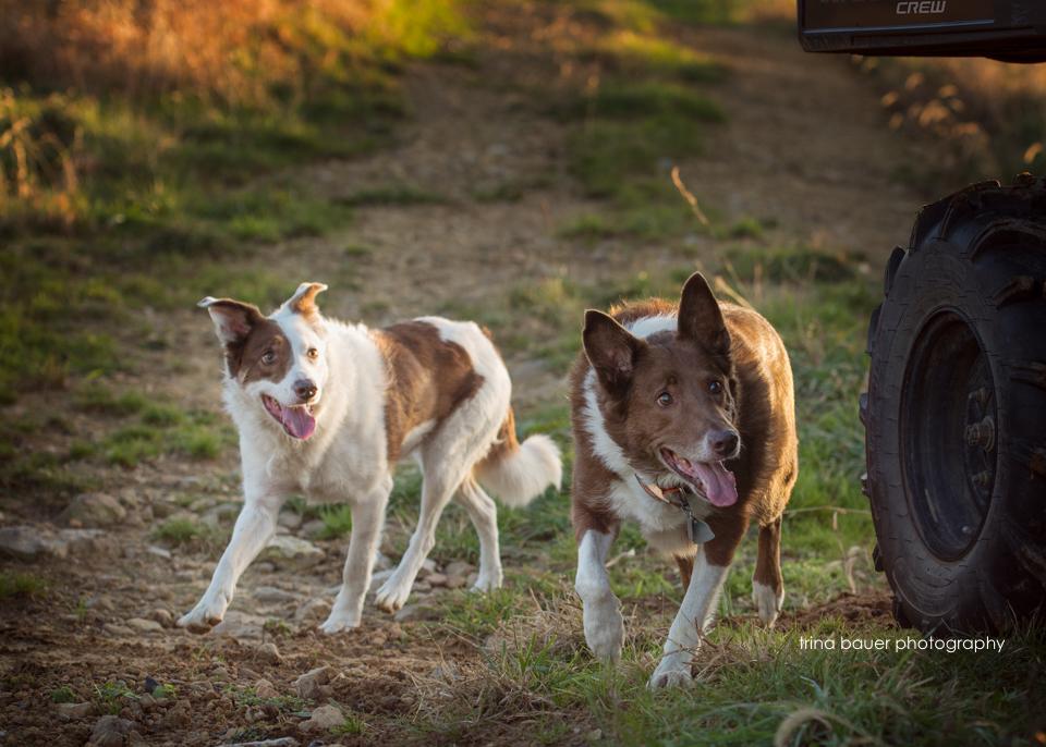border.collie.running.herding.mule