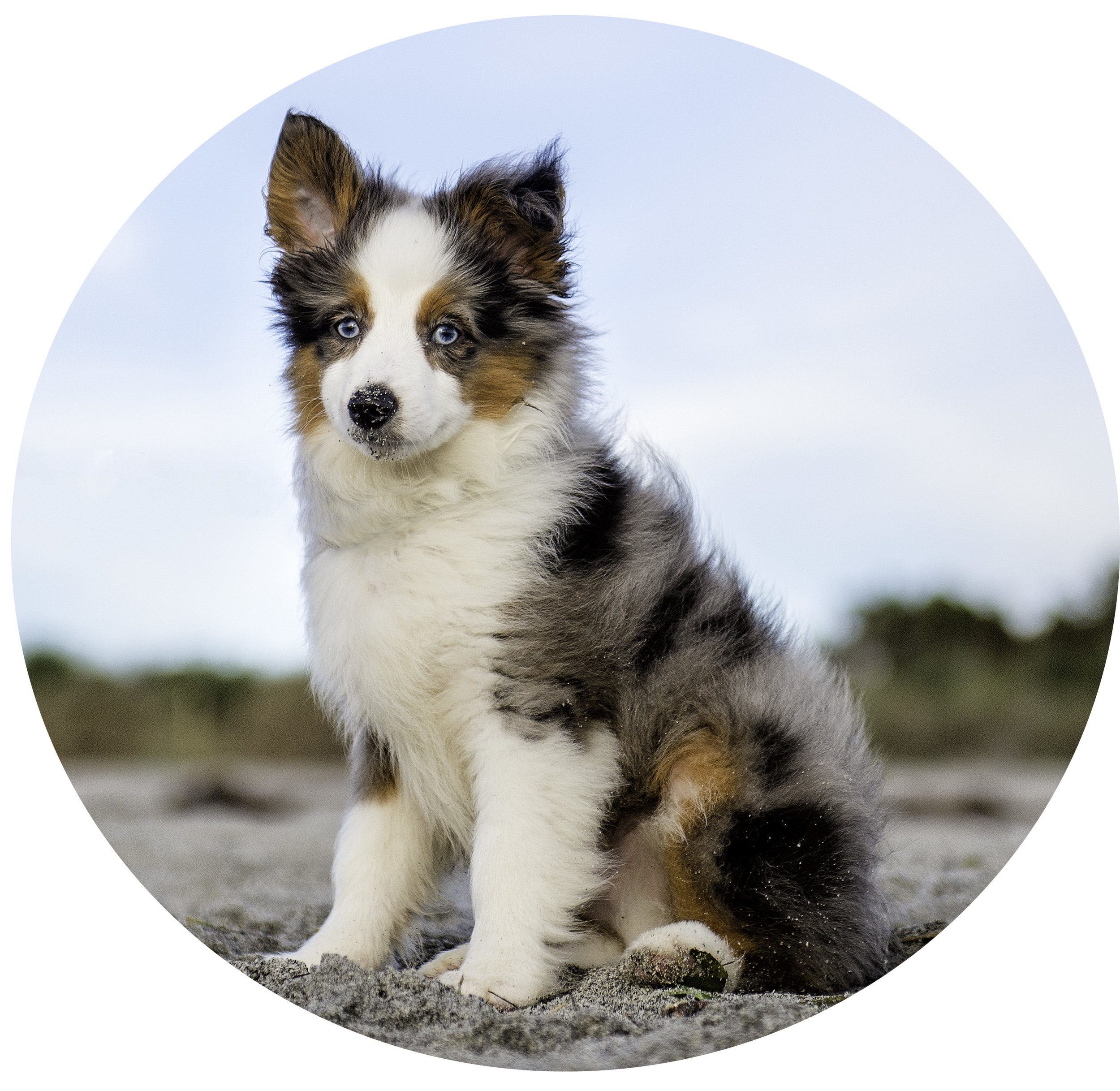 mini.australian.shepherd.puppy.beach