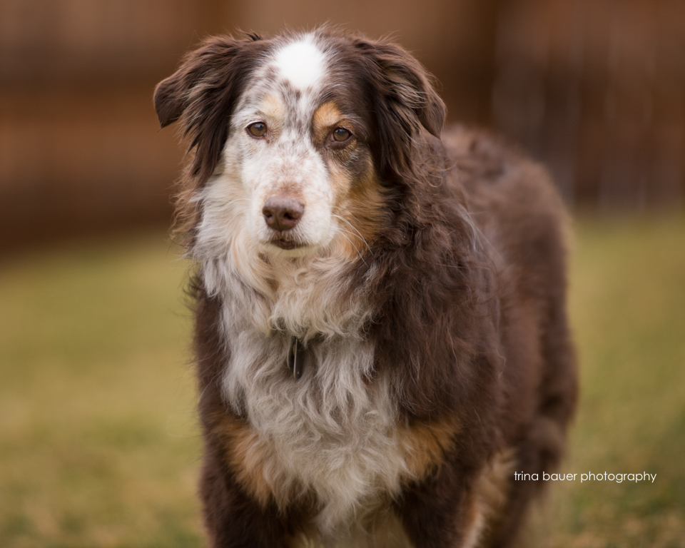 Australian.shepherd.border.collie.mix.dog