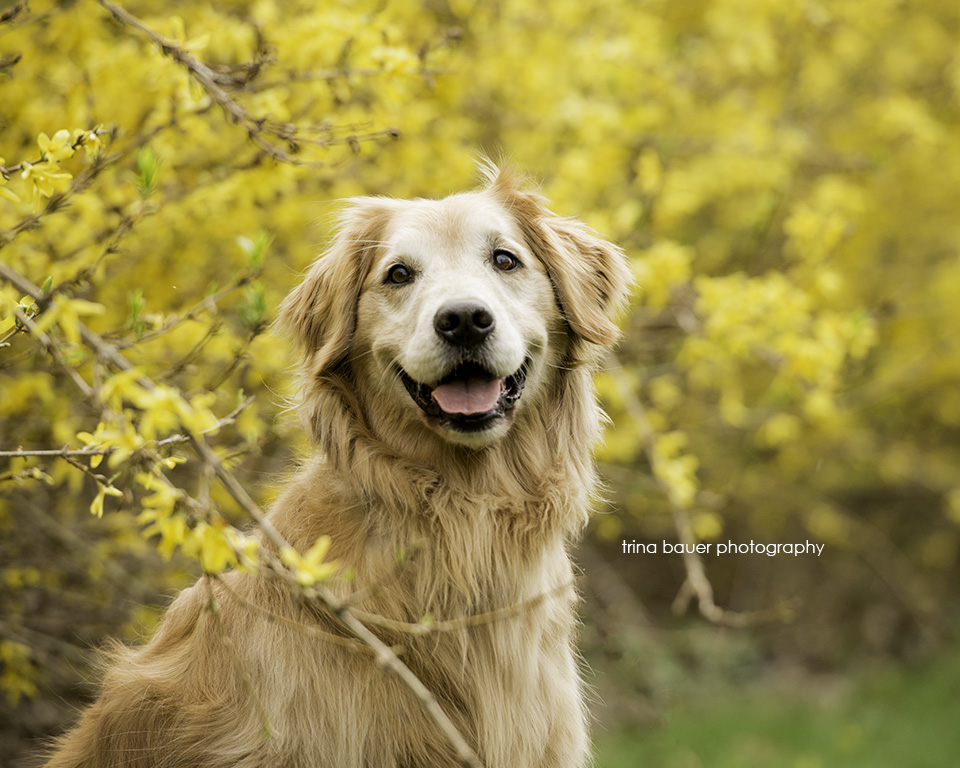 golden.retriever.forsythia