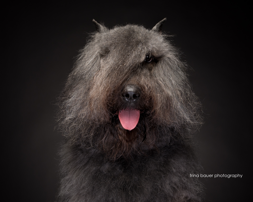 Bouvier.black.backdrop