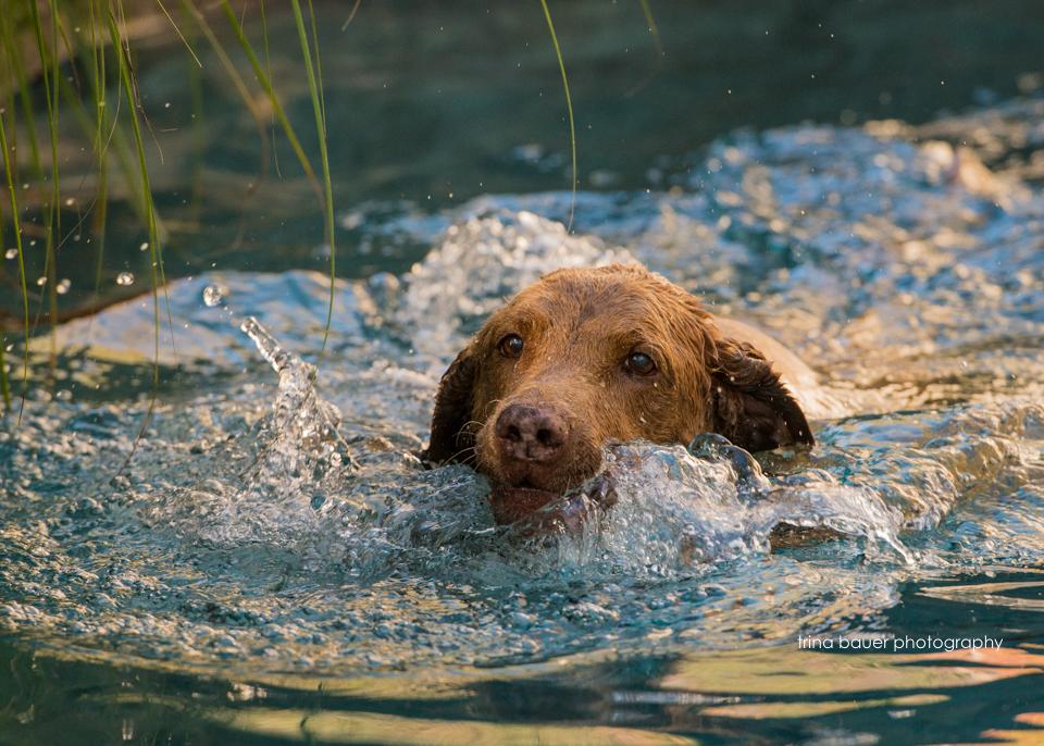 Chesapeake.Bay.Retriever.pool.swimming.jpg