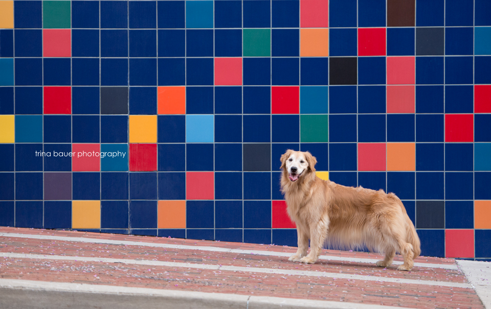 Golden retriever with colorful wall