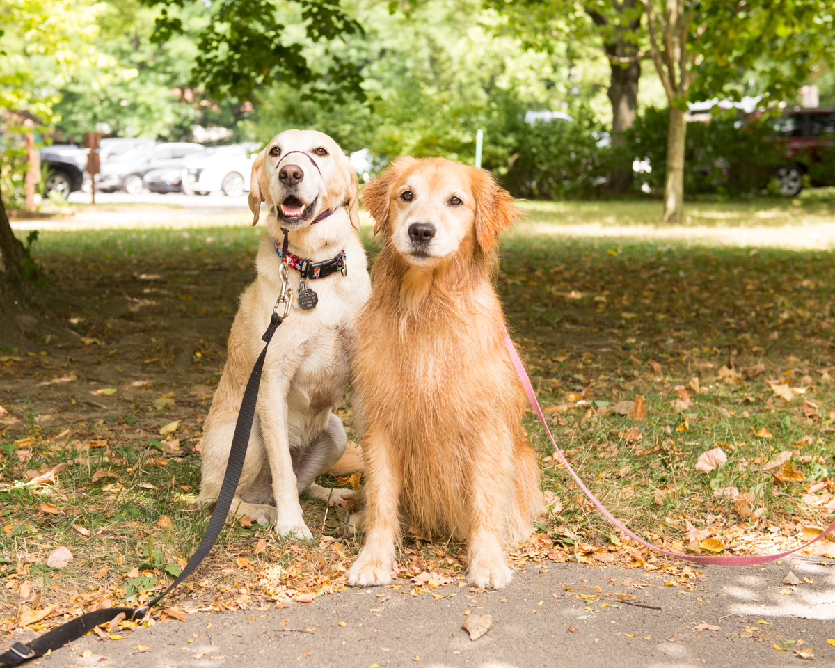 yellow lab and golden retriever