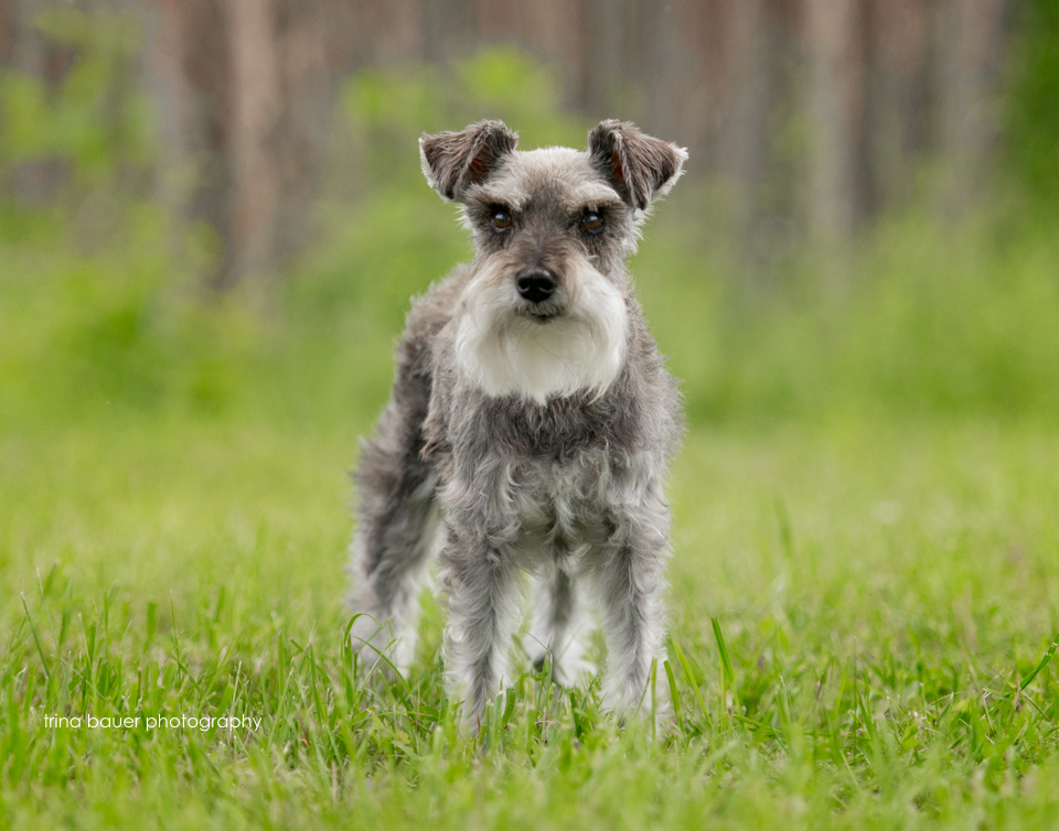 miniature schnauzer in stand of trees